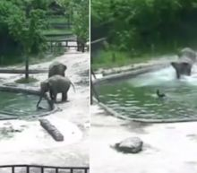 2 Elephants Spring Into Action to Save Calf From Drowning in Zoo's Pool