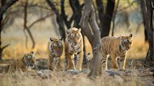Where to see the tigers of Dynasties – and what happened after the filming stopped