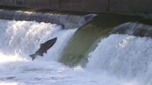 Flying fish: Annual chinook salmon migration underway in the GTA