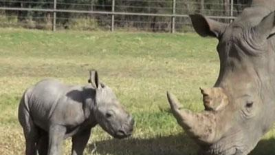 Raw: Aussie Zoo Shows Off White Rhino Calf