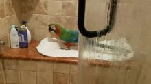 Parrot loves to sing in the shower