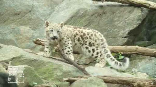 Snow leopard debuts at the Bronx Zoo