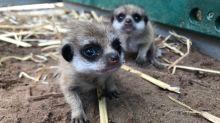 Taronga Zoo Welcomes Two Meerkat Pups to Family