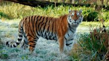 Rare tiger dies in fight at safari park