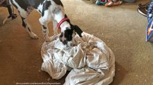 Cute Great Dane puppy takes on feather duvet