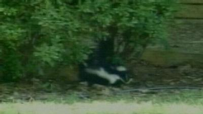 Fort Smith Finds Rabid Skunks