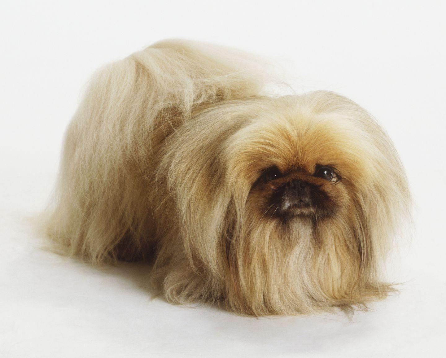 """<p>According to the AKC, these small pups were common pets for the <a href=""""https://www.akc.org/expert-advice/lifestyle/10-facts-about-pekingese-dogs/"""" rel=""""nofollow noopener"""" target=""""_blank"""" data-ylk=""""slk:Chinese imperial family members"""" class=""""link rapid-noclick-resp"""">Chinese imperial family members</a>. In the 1860s, British invaders brought the dogs back to England and introduced them to the western world at large. </p><p>Chinese legend says that these dogs are shrunken down lions because they're so fierce for their size. </p>"""