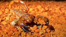 """Científicos descubren que los escorpiones """"se apoderan"""" de partes de Australia"""