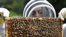 Colmenas de abejas son tan valiosas para la agricultura de California que se las roban constantemente