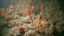 Korallenriff im Mittelmeer vor Italien