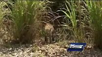 Fox makes appearance at golf course in Fort Pierce