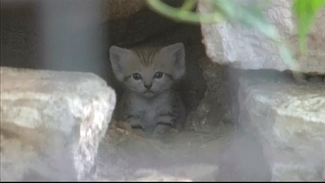 Rare sand kittens born at Israel zoo
