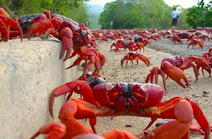 Crab walk: Millions migrate on Australia's Christmas Island