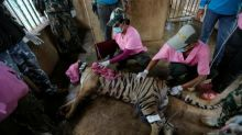 Scores of tigers rescued from infamous Thai temple have died: media