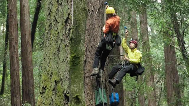 Scientists study trees in Muir Woods