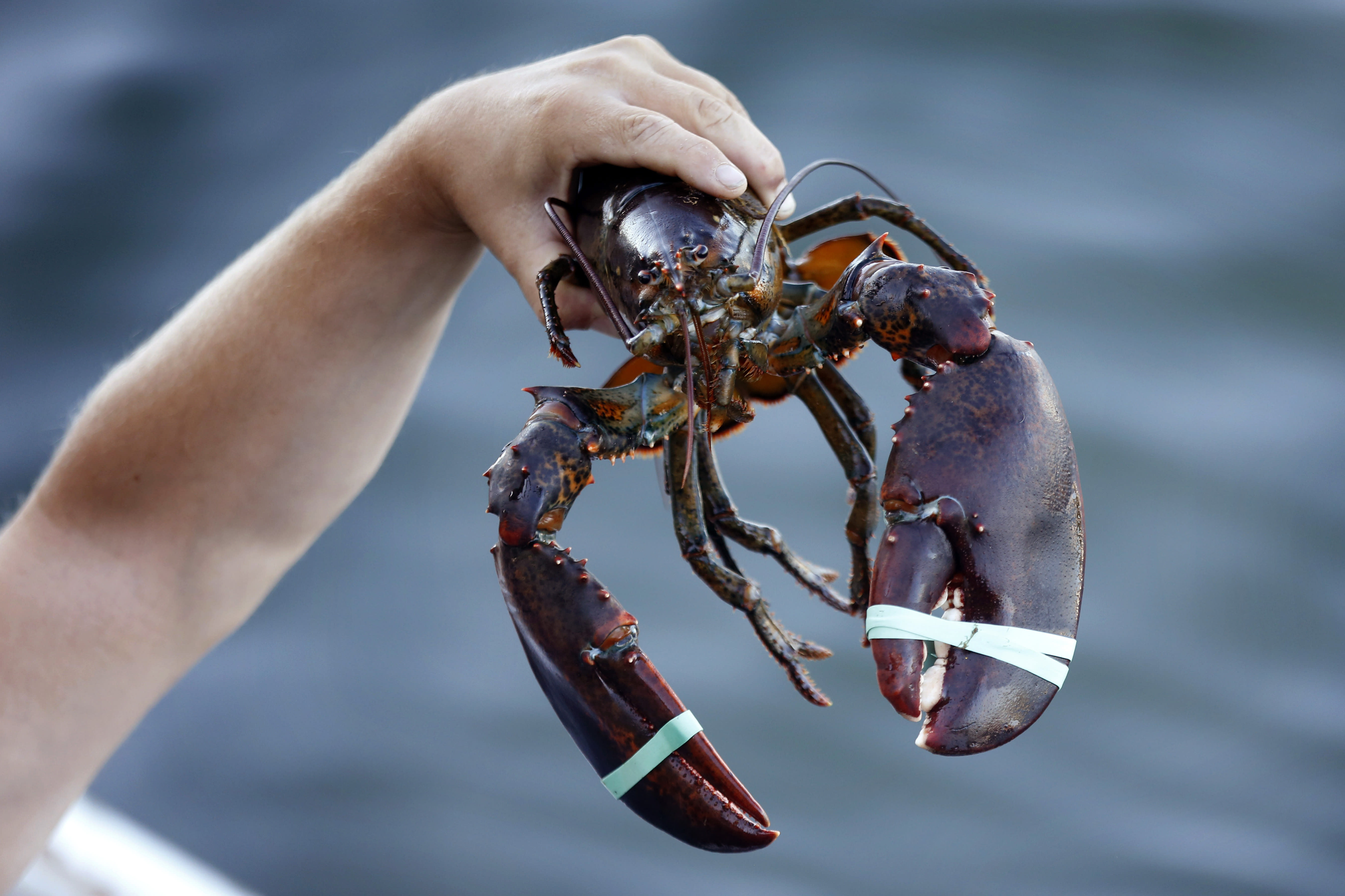 In this Saturday, Aug. 24, 2019, photo a 3.5 pound lobster is held by a dealer at Cape Porpoise in Kennebunkport, Maine. America's lobster exports to China have plummeted this year as new retaliatory tariffs have shifted business to Canada. (AP Photo/Robert F. Bukaty)