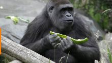 Baby gorilla injured at Seattle Zoo