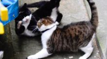 The Downing St Cats Are Fighting So Savagely People Are Worried One Might Get Killed