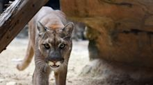Runner kills mountain lion in self-defense after being attacked on park trail