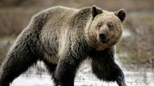 U.S. erred in declining protections for remote grizzly bears: judge