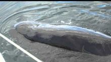 Man Captures Rare Footage of Pilot Whale 'Talking' to Him
