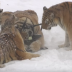 Watch a bunch of chubby tigers take down a drone and try to eat it