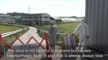 South Korea confirms first swine fever outbreak