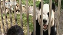 Raw: 2 Chinese Pandas Canada Bound