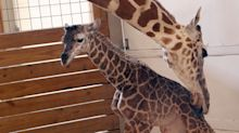 It's a boy! Zoo in upstate New York announces birth of baby giraffe