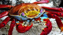 Vividly colored Sally Lightfoot Crab stops to eat lunch in the mangroves