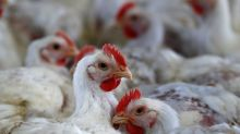 Exportações de frango sobem 2,6% em março, a 349,5 mil t, diz ABPA; suíno também avança