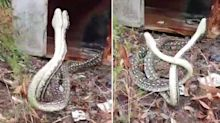 WATCH: Incredible footage shows two snakes fighting for dominance