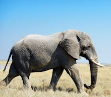 President Trump Says Ban on Elephant Remains Will Stay For Now