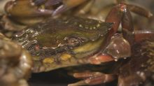 'They were born ferocious': Hybrid green crab species threatens N.L. lobster