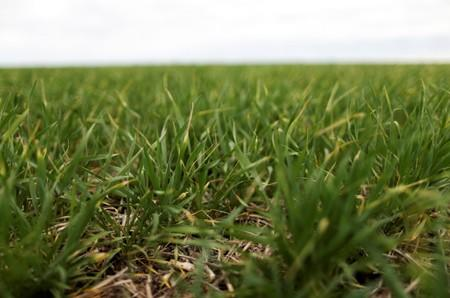 Fields of wheat are seen on farmland near Azul