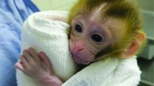 Birth of monkey could help ensure boys with cancer can have families