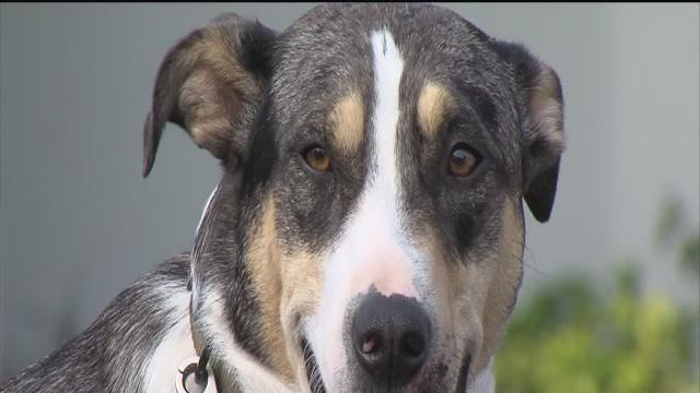 """Hillsborough County Sheriff's cattle dog """"Doc"""" reunited with owner"""