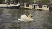 Grumpy swan terrorizes the canals of Amsterdam