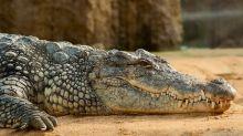 Orosei, coccodrillo rubato o fuggito dal circo: l'allarme del Comune
