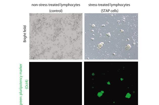 Researchers create 'programmable' stem cells through stress