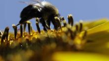 Dozens of bee species extinct or on verge of disappearing across UK, study finds