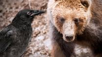 This Bear Saves a Crow's Life - Animalist News