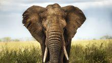 Murió aplastado por un elefante al intentar hipnotizarlo