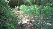 Vibo Valentia, 'giardini segreti' di marijuana: scoperte 26mila piante del clan