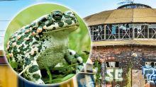 Stadtentwicklung: Kreuzkröten weichen dem Großprojekt Pankower Tor
