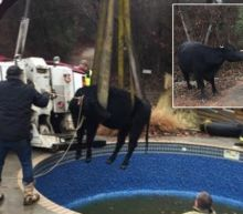 1,500-Pound Cow Pulled From Pool After Homeowner Reported Hearing 'Snorting'