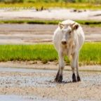 3 cows believed to have been washed out to sea found