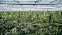 First Harvest complete at Flower One's 455,000 square-foot cannabis facility, greenhouse now fully canopied with 100,000-plant inventory