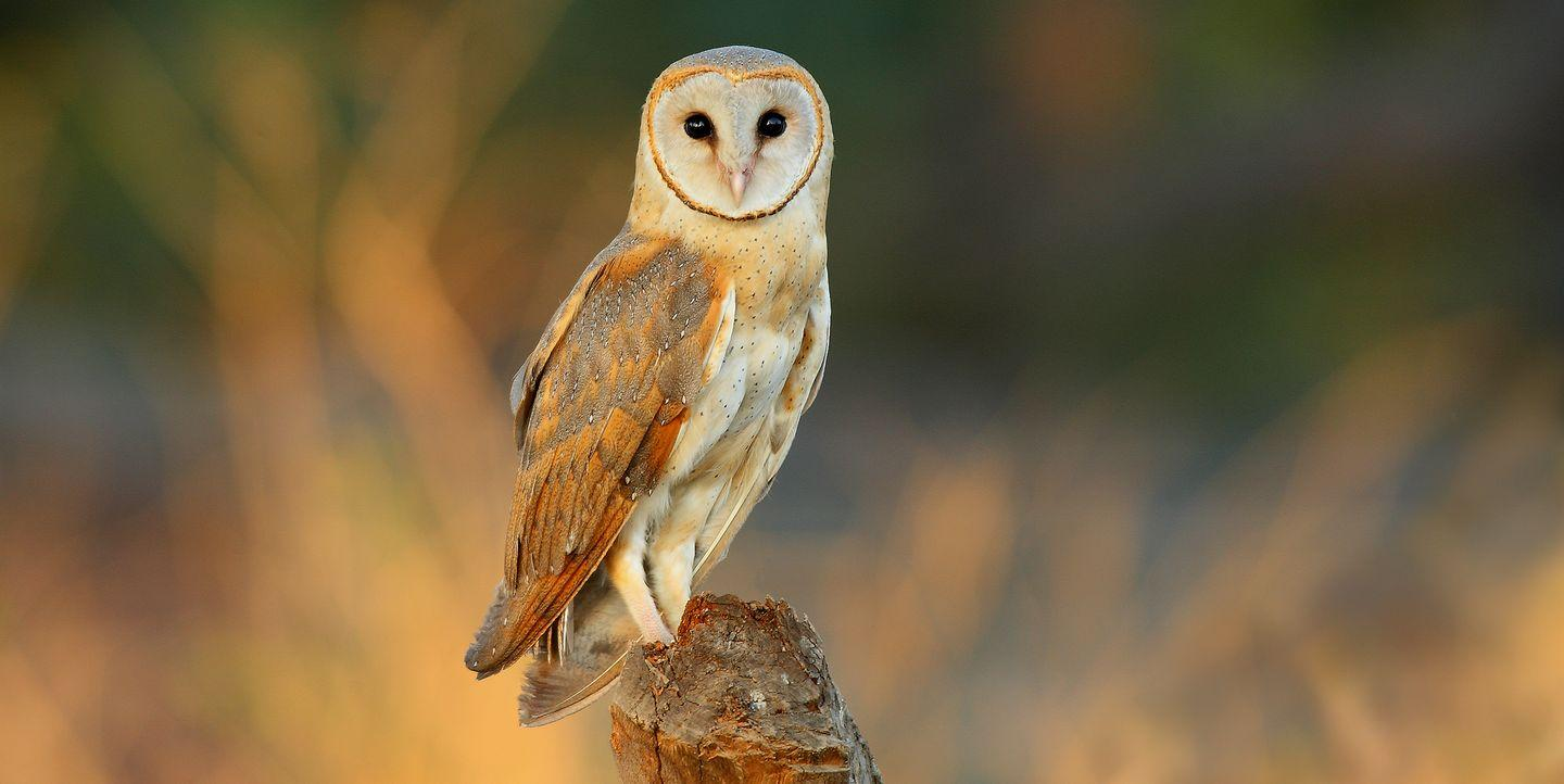 How To Spot A Barn Owl