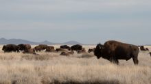 CEMEX Celebrates Earth Day with Reintroduction of American Bison in El Carmen Nature Reserve